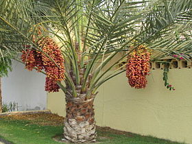 palm tree wtih dates
